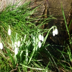 Our first snowdrops!
